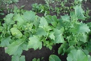 Sessantina, eco broccoletto - Vreeken's zaden