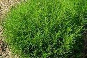 Olijfkruid - Cook and herb