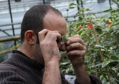 Figuur 1: Monitoring met een loep in de sierteelt.