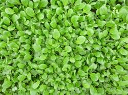 Tatsoi vert Nogaro - Graines Voltz