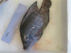 Foto 6: Tilapia filets uit aquacultuur aangekocht in de viswinkel