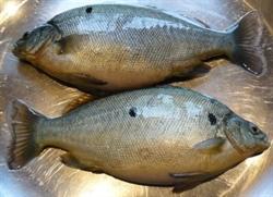 Foto 10: Omegabaars, een voor België nieuwe vissoort, waar de KU Leuven wil mee experimenteren