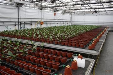 Validatieproef met de Riga darmen bij Spathiphyllum