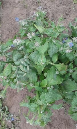 Teelttechniek bestrijding witziekte: 20 cm insnoeien - plant