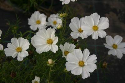 Cosmos bipinata 'White'