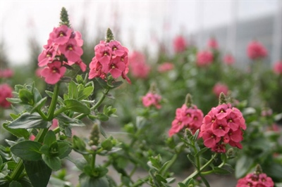 Diascia 'Sundiascia Pink'