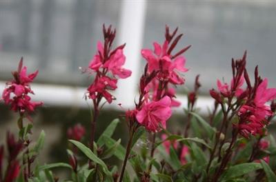Gaura Lind. Pink