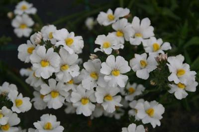 Nemesia Sunsatia Plus 'Anona White'