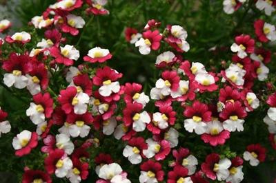 Nemesia Sunsatia Plus 'Cherry on Ice Red'