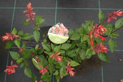 Salvia embers wisches