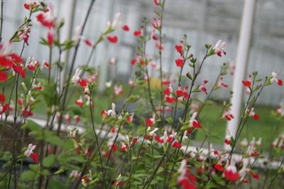 Salvia micr. Hot Lips