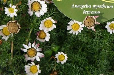 Anacyclus pyrethrum depressus