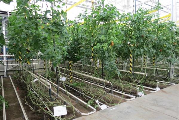 Bemestingsproef biologische teelt – kans voor maaimeststoffen in de teelt van tomaat 2015