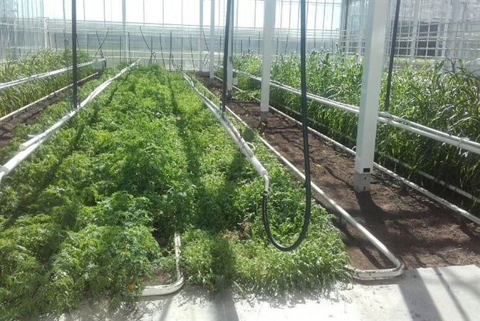 Groenbemesters ter beheersing van wortelknobbelaaltjes  in verwarmde kas