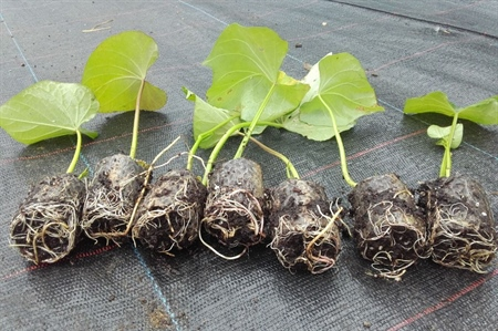 Plantmateriaal bataat: Paperpotplantjes