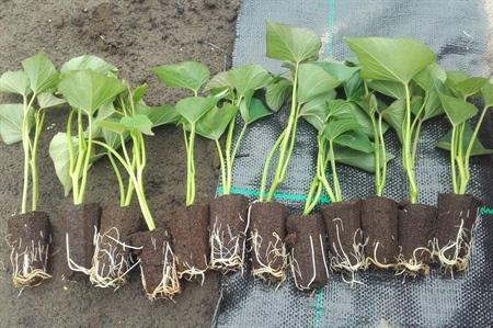 Plantmateriaal bataat: Lijmplugplantjes