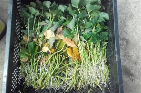 Plantmateriaal bataat: gewortelde stekken in water