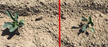 Figuur 1 : APP plantbakbehandeling (links), APP puntbehandeling bij planten (rechts), foto genomen op 20/07/2016.
