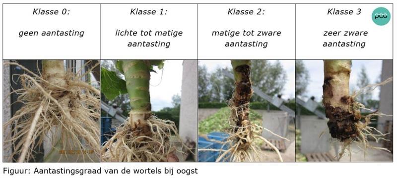 Aantastingsgraad van de wortels bij oogst