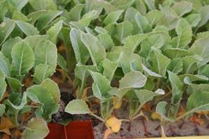 Bescherm je koolplantjes tegen de koolvlieg al met een plantbakbehandeling
