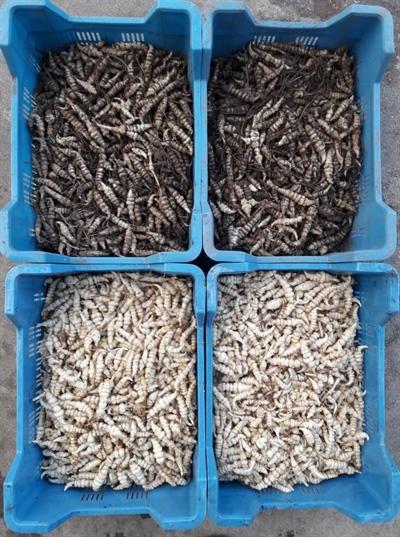 Crosne ongewassen knol (boven) - gewassen knol (onder)