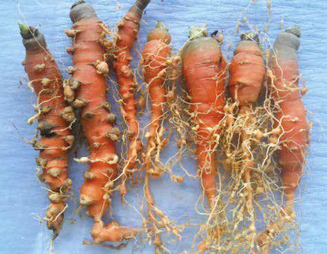 Ernstige schade bij wortelen veroorzaakt door de wortelknobbelnematode Meloidogyne chitwoodi.